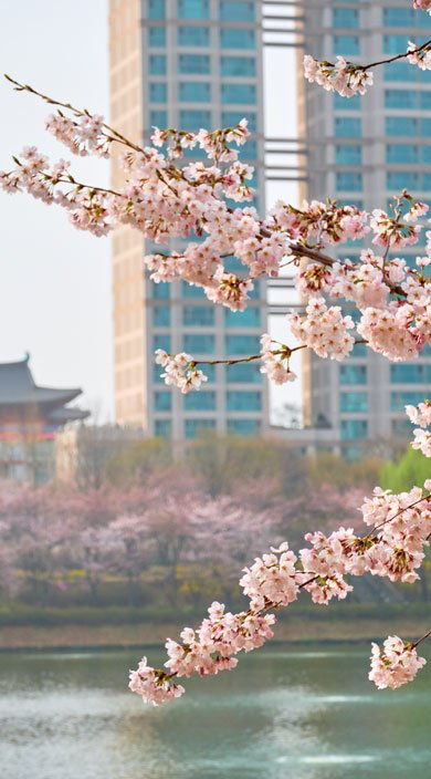 Cherry blossoms in Seoul for medical concierge services