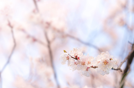 Cherry Blossom - Seoul Tour Packages